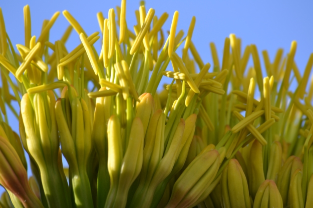Agave flowers 2