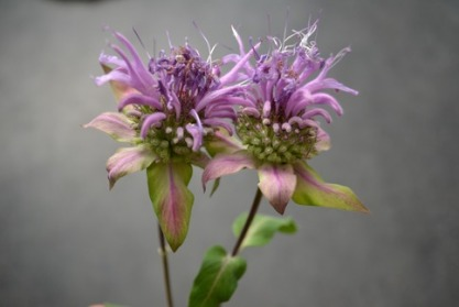 bee-balm-twin-flowers_med_hr