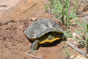 Bosque painted turtle