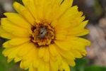 calendula-like-sun_med_hr