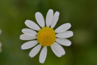 chamomile-flower-closeup-2_med_hr