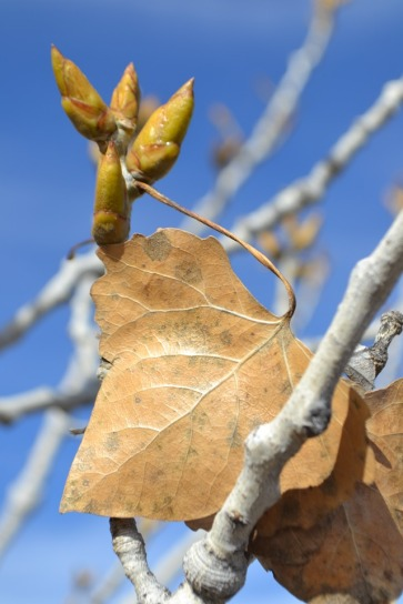 cottonwood-buds-winter_med_hr