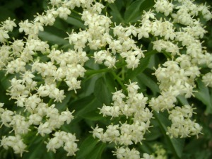 elder-flowers_med_hr