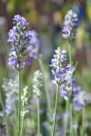 lavender-flowering-stalk_med_hr