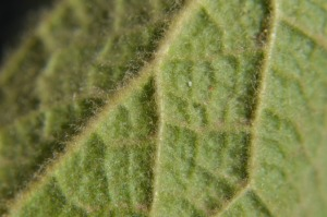 mullein-native-leaf_med_hr