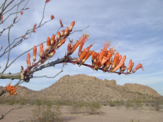 Ocotillo branch