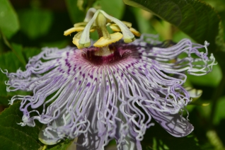 Passionflower profile