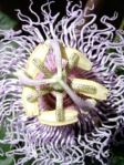 passionflower_med_hr-2