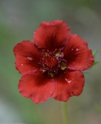 potentilla-red-flower-copy_med_hr