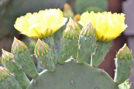 prickly-pear-flowers-2a_med_hr