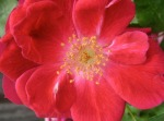 rose-red-garden-closeup_med_hr