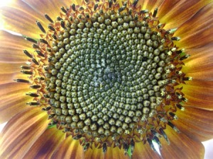 sunflower-2-2_med_hr