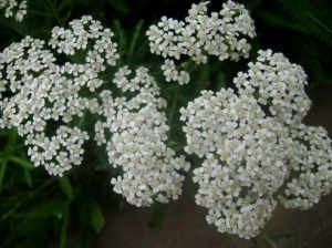 yarrow-flowers-garden_med_hr