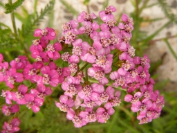 Yarrow flowers pink