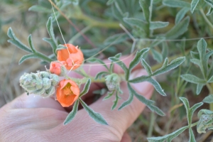 Globemallow coccinea leaf and flower