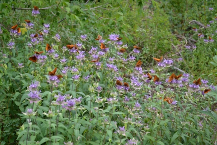 Bee Balm wild with butterflies