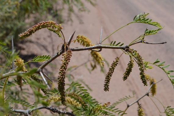 Mesquite Honey flowers