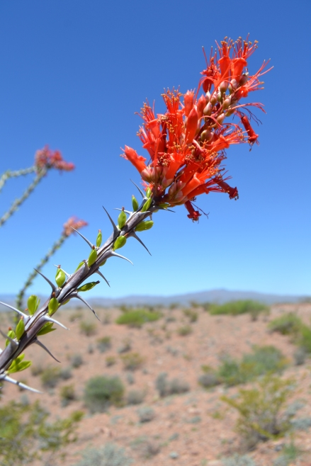 Ocotillo top.JPG