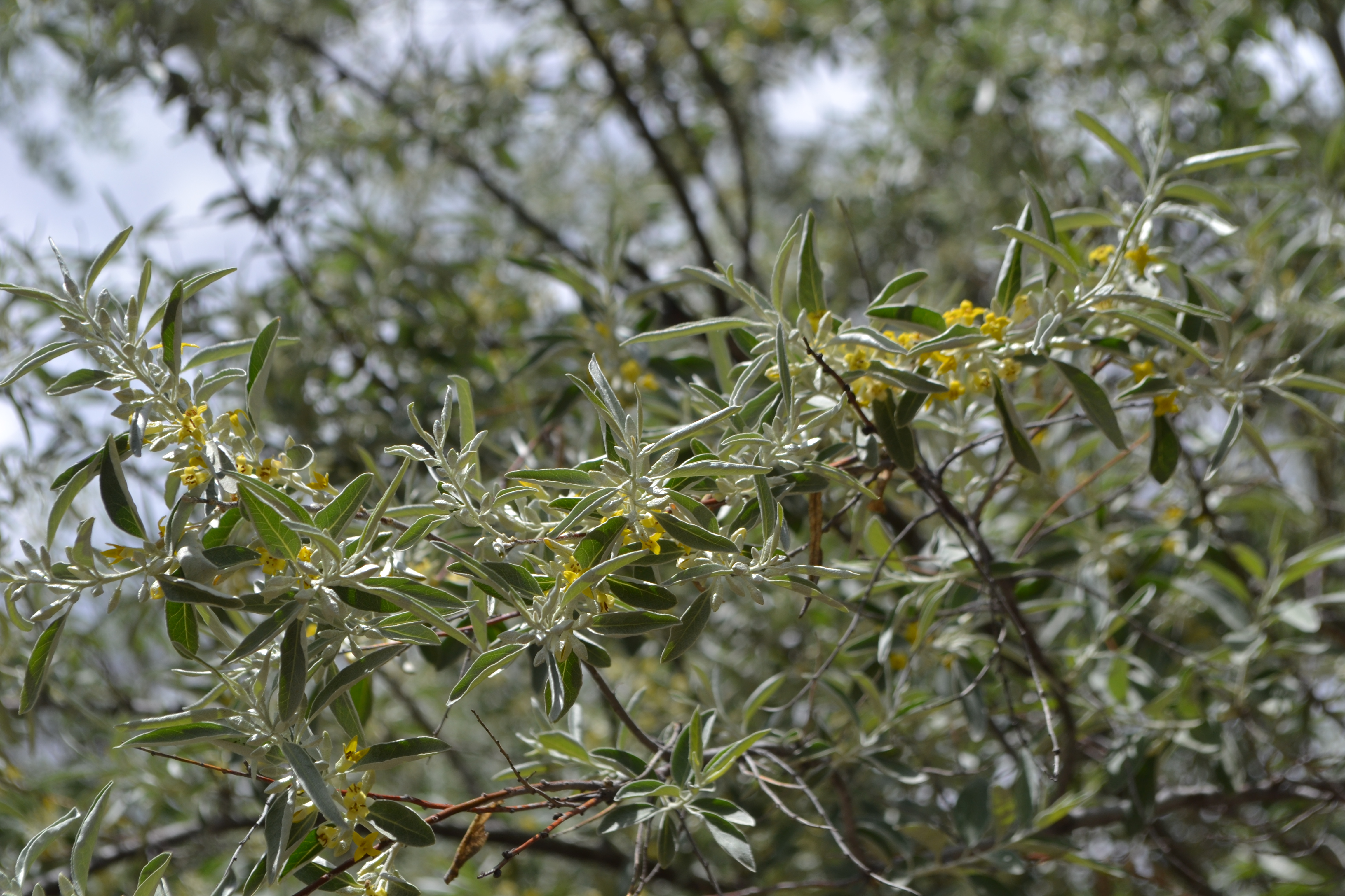 russian-olive-branch