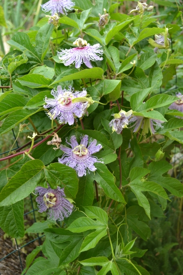 Passionflower vines 1