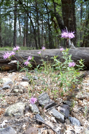 Bee Balm wild patch