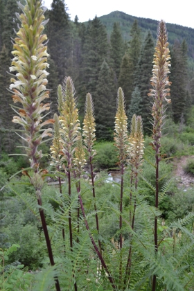 Pedicularis procera patch.JPG