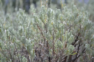 A. tridentata, Sagebrush