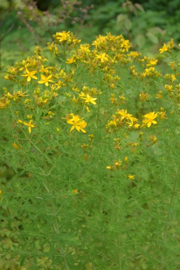 Saint Johns Wort wild PA flowers