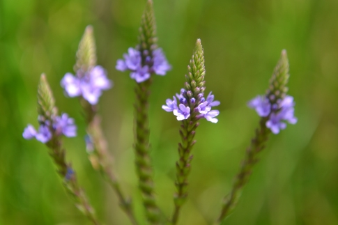Verbena Bosque flowers