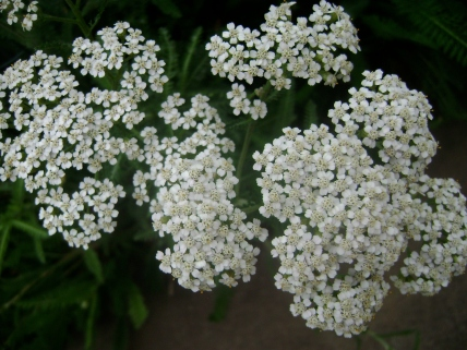 Yarrow flowers garden
